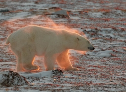 polar-bear-893-cape-churchill-copyright-photographers-on-safari-com