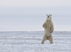 polar-bear-897-cape-churchill-copyright-photographers-on-safari-com