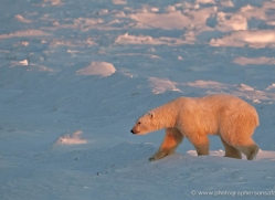 polar-bear-899-cape-churchill-copyright-photographers-on-safari-com