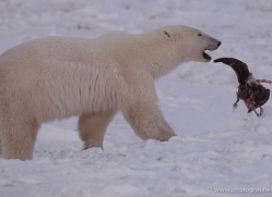 polar-bear-902-cape-churchill-copyright-photographers-on-safari-com