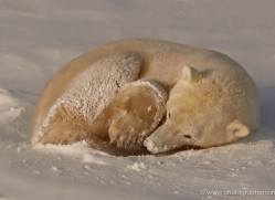 polar-bear-905-cape-churchill-copyright-photographers-on-safari-com