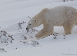 polar-bear-910-cape-churchill-copyright-photographers-on-safari-com