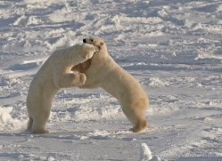 polar-bear-912-cape-churchill-copyright-photographers-on-safari-com