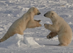 polar-bear-913-cape-churchill-copyright-photographers-on-safari-com