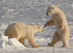 polar-bear-914-cape-churchill-copyright-photographers-on-safari-com