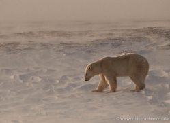 polar-bear-916-cape-churchill-copyright-photographers-on-safari-com