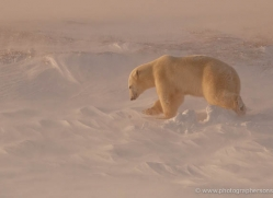 polar-bear-917-cape-churchill-copyright-photographers-on-safari-com