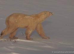polar-bear-920-cape-churchill-copyright-photographers-on-safari-com