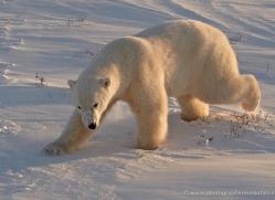 polar-bear-922-cape-churchill-copyright-photographers-on-safari-com