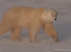 polar-bear-923-cape-churchill-copyright-photographers-on-safari-com