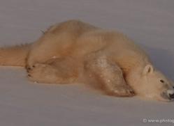 polar-bear-925-cape-churchill-copyright-photographers-on-safari-com