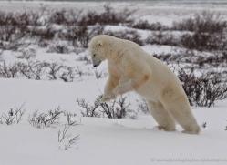 polar-bear-926-cape-churchill-copyright-photographers-on-safari-com