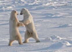 polar-bear-927-cape-churchill-copyright-photographers-on-safari-com