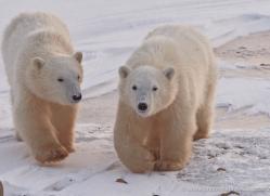 polar-bear-932-cape-churchill-copyright-photographers-on-safari-com