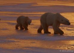 polar-bear-933-cape-churchill-copyright-photographers-on-safari-com