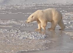 polar-bear-934-cape-churchill-copyright-photographers-on-safari-com