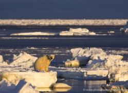 polar-bear-935-cape-churchill-copyright-photographers-on-safari-com