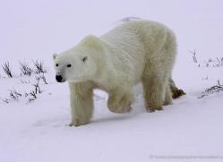 polar-bear-937-cape-churchill-copyright-photographers-on-safari-com