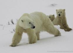 polar-bear-938-cape-churchill-copyright-photographers-on-safari-com