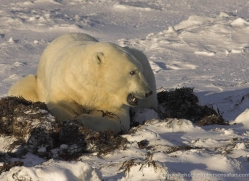 polar-bear-940-cape-churchill-copyright-photographers-on-safari-com