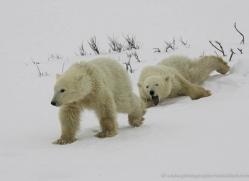 polar-bear-942-cape-churchill-copyright-photographers-on-safari-com
