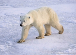 polar-bear-943-cape-churchill-copyright-photographers-on-safari-com