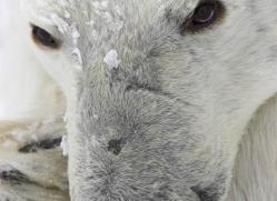 polar-bear-944-cape-churchill-copyright-photographers-on-safari-com