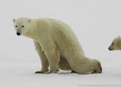 polar-bear-945-cape-churchill-copyright-photographers-on-safari-com