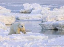 polar-bear-946-cape-churchill-copyright-photographers-on-safari-com