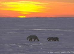 polar-bear-947-cape-churchill-copyright-photographers-on-safari-com