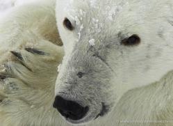 polar-bear-948-cape-churchill-copyright-photographers-on-safari-com