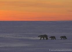 polar-bear-949-cape-churchill-copyright-photographers-on-safari-com