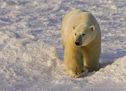 polar-bear-950-cape-churchill-copyright-photographers-on-safari-com