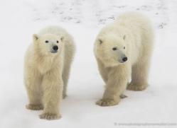 polar-bear-952-cape-churchill-copyright-photographers-on-safari-com