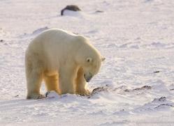 polar-bear-954-cape-churchill-copyright-photographers-on-safari-com