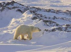 polar-bear-955-cape-churchill-copyright-photographers-on-safari-com