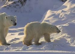 polar-bear-957-cape-churchill-copyright-photographers-on-safari-com