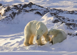 polar-bear-959-cape-churchill-copyright-photographers-on-safari-com