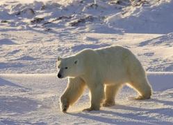 polar-bear-960-cape-churchill-copyright-photographers-on-safari-com