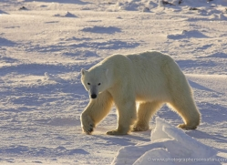 polar-bear-961-cape-churchill-copyright-photographers-on-safari-com