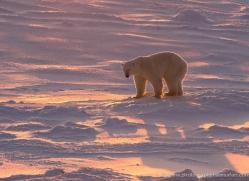polar-bear-962-cape-churchill-copyright-photographers-on-safari-com