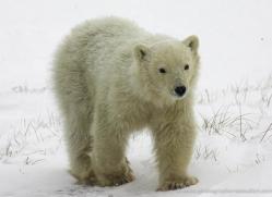 polar-bear-968-cape-churchill-copyright-photographers-on-safari-com