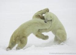 polar-bear-969-cape-churchill-copyright-photographers-on-safari-com