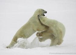 polar-bear-971-cape-churchill-copyright-photographers-on-safari-com