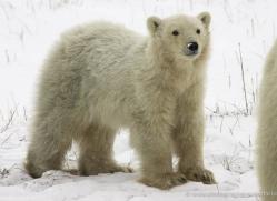 polar-bear-972-cape-churchill-copyright-photographers-on-safari-com