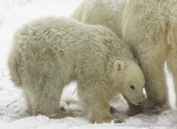 polar-bear-973-cape-churchill-copyright-photographers-on-safari-com