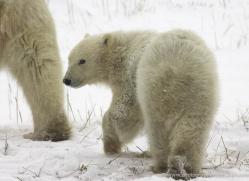 polar-bear-974-cape-churchill-copyright-photographers-on-safari-com