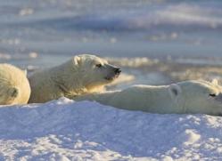 polar-bear-975-cape-churchill-copyright-photographers-on-safari-com