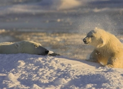 polar-bear-976-cape-churchill-copyright-photographers-on-safari-com