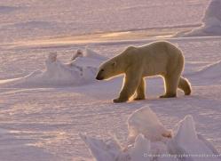 polar-bear-978-cape-churchill-copyright-photographers-on-safari-com